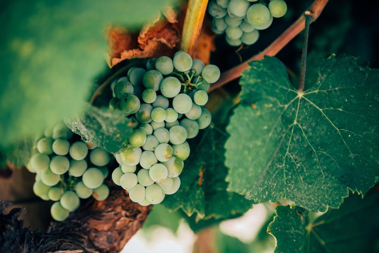 grapes-1245739_1280