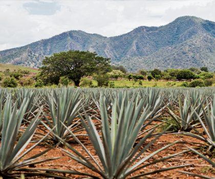 Тайна богов или как мексиканская агава может заменить сахар, повысить иммунитет, залечить раны и улучшить настроение?