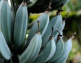 Новый тренд: мир в восторге от голубых бананов со вкусом мороженого